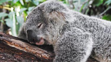 Een koalabeer.