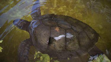186-jarige schildpad blijkt homo te zijn