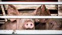Een foto van twee varkens achter een hek