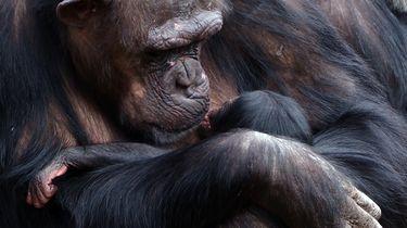 Beschuit met muisjes in Safaripark Beekse Bergen: chimpansee geboren