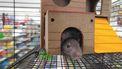 Ratten helpen sneller andere ratten als meerderen dat doen