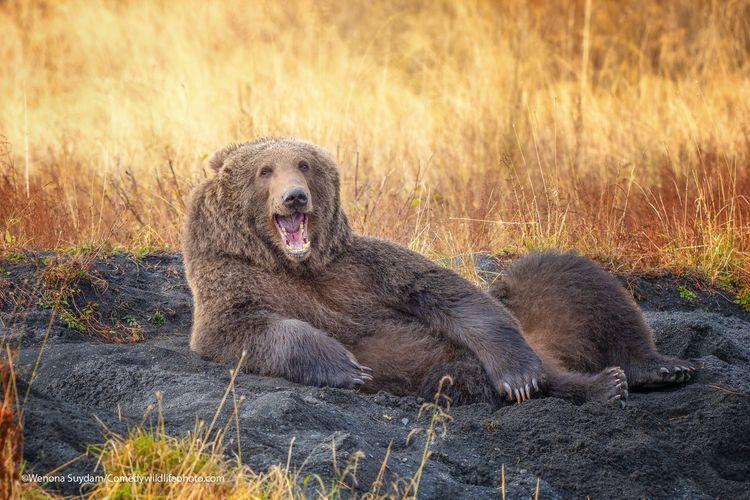 Draw me like one of your French bears - The Comedy Wildlife Photography Awards 2021 / Wenona Suydam