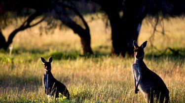 Helikopters droppen wortels voor uitgehongerde kangoeroes
