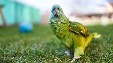 Dit Drentse papegaaitje leeft nog en zoekt zijn baasje