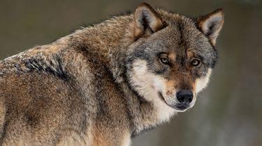 Zes schapen werden slachtoffer van aanvallen door wolven.