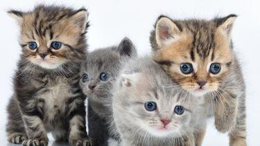 Een kattenfoto met vier jonge kittens
