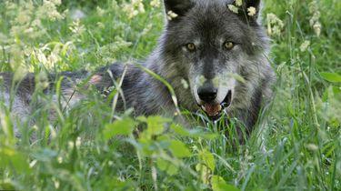 Wolf op Veluwe gespot, landelijk wolvenplan gestart
