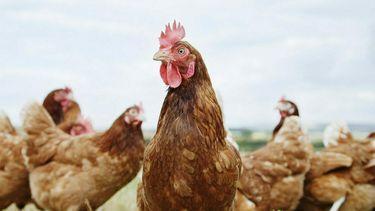Een foto van een kip die vol in de camera staart, andere kippen op de achtergrond. Dorp dankzij lockdown geplaagd door wilde kippen