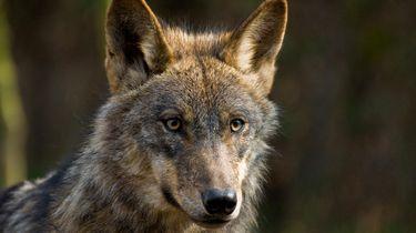 Vrouw wordt uren gestalkt door wolf