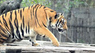 Tijgers, leeuwen, jaguar en beer ontsnapt