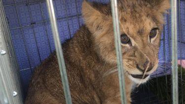 Onderzoek naar herkomst gevonden leeuwenwelp