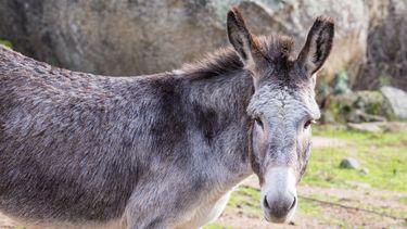 'Knuffelen met een ezel helpt tegen examenstress'