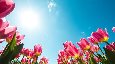 mooie tulpen in de zon
