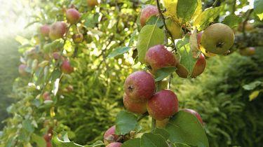 Op deze foto zie je rood gekleurde appels aan bomen hangen. Er zijn 34 besmettingen van corona in twee fruitbedrijven ontdekt.