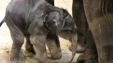 Baby olifantje geboren in Artis