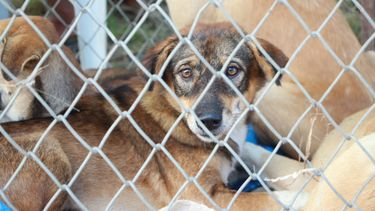asiel, australie, honden