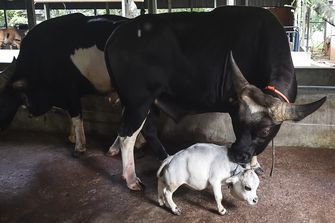 'Kleinste koe ter wereld', Rani (51 cm) trekt veel bekijks in Bangladesh