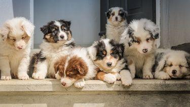 Hondeneigenaren vinden opvoeding hond net zo zwaar als opvoeding baby