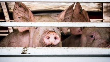 Ophef over beelden met hamer doodgeslagen varkens in Britse varkensstal