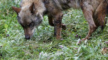Een foto van een wolf, snuffelend aan het gras