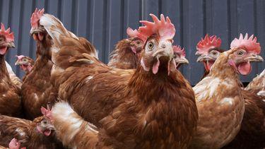 Amerikaanse CDC waarschuwt: Kus en knuffel geen kippen en andere vogels