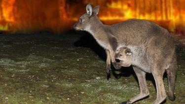 Een kangoeroe probeert te ontsnappen aan de bosbranden