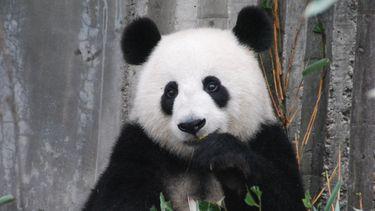 De jonge panda in Ouwehands Dierenpark is vanaf oktober te zien