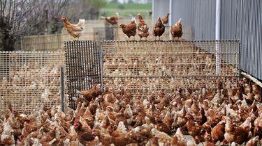 Zweedse stad gebruikt kippenmest om social distancing 'af te dwingen'