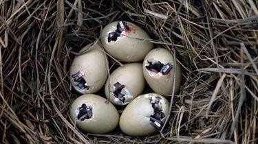 Kleine eendjes die uit een ei aan het komen zijn.