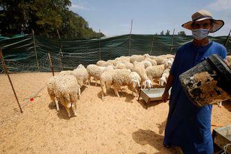 Een foto van een schapenhouder met mondkapje in Algerije