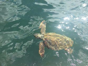 Een dikkopschildpad in de haven van Argostoli. / Marieke van der Voort