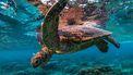 schildpad koraalrif Groot Barriererif