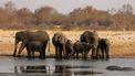 55 olifanten sterven in Zimbabwe van honger