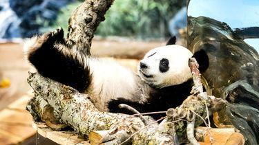 Op deze foto zie je panda Wu Wen de moeder