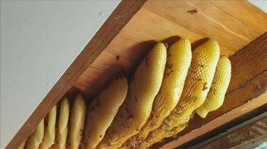 60.000 bijen verwijderd uit plafond van huis