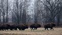 Twaalf vrijwilligers mogen op bizon gaan jagen in de Grand Canyon