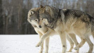 Belgisch wolvenpaar zwanger