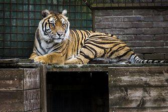 Een van de ontsnapte tijgers in Felida. Foto: ANP