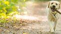 Op deze foto zie je Labrador is een bos wandelen.