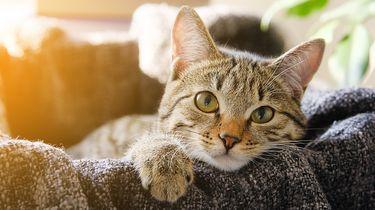 Dodelijke kattenziekte in Nederland, dierenartsen waarschuwen