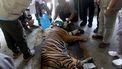 Een tijger gevangengenomen in Sumatra.