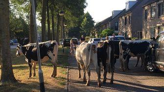 Geloei uit je voortuin; koeien aan de wandel