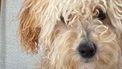 Koningshuis Mambo hond