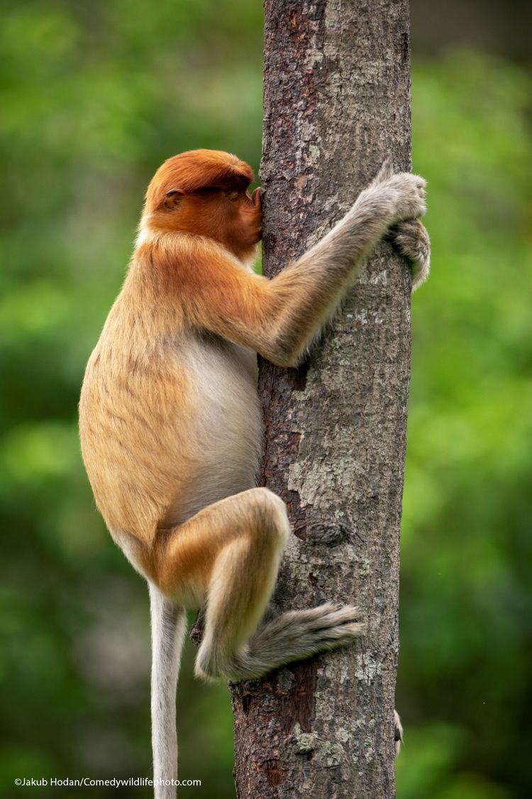Treehugger - The Comedy Wildlife Photography Awards 2021 / Jakub Hodan