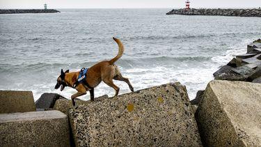 Een foto van een speurhond die aan de kust zoekt naar de vermiste surfer