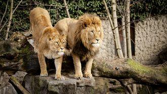 artis, leeuwen, verblijf