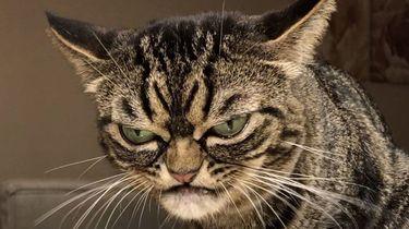 Een foto van een kat, ook wel de opvolger van Grumpy Cat genoemd.