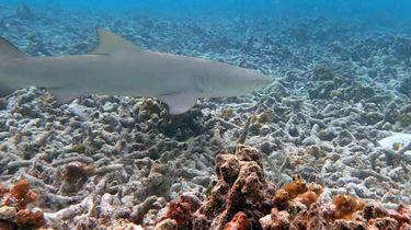 Een foto van een haai, zwemmend boven een dood koraalrif