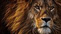Het is nog niet duidelijk wat er met de leeuwen gebeurt