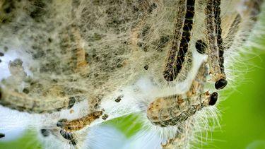 Een foto van een nest eikenprocessierupsen die over elkaar heen klimmen, de brandharen zijn goed zichtbaar